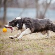 Blue Border Collie dog playing with a toy ball — Stock Photo #14687869