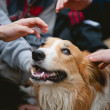 Stock Photo: Children caress red border collie dog