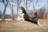 Blue Border Collie catching disc in jump — Stock Photo