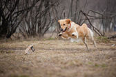 Cute golden Retriever dog playing with a toy — Stock Photo