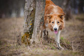 Red border collie looks out from behind a tree — Stock Photo