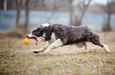 Blue Border Collie dog playing with a toy ball — Stock Photo