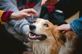 Children caress red border collie dog — Foto Stock