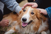 Children caress red border collie dog — Stock Photo