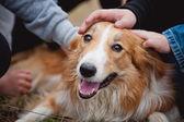 Children caress red border collie dog — Stock Photo