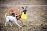 Two dogs play with toy together — Stock Photo