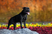 Proud Stafford Terrier stands against the colors — Stock Photo