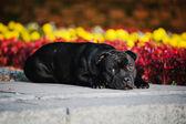Dog Terrier sitting lying on flowers background — Stock Photo