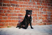 Cute black dog Terrier sitting on brick background — Stock Photo