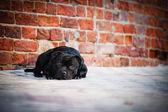 Pes teriér sedící na cihlové pozadí — Stock fotografie