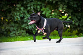 Proud dog Stafford Terrier runs with medals — Stock Photo