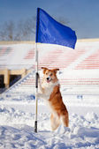 Happy dog border collie with flag — Stock fotografie