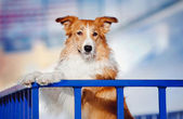 Handsome dog border collie in winter — Stock Photo