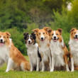 Group of five happy dogs border collie — Stock Photo #19740073