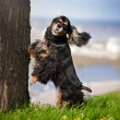 Cocker spaniel jump and look at the camera — Stock Photo