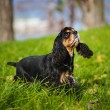 American cocker spaniel in autumn — Stockfoto