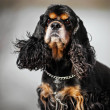 American cocker spaniel portrait — Stock Photo