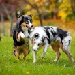 Two Australian Shepherds play together — Stock Photo #21646859