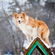 Red Dog border collie training in winter — Stock Photo #21904251