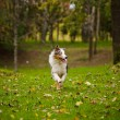 Young merle Australian shepherd running in autumn - Stock Photo