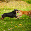 Two funny dogs play together — Stock Photo