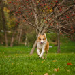 Young merle border collie running in autumn — Stock Photo