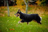 Young Australian shepherd walks in autumn — Stock Photo