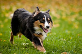 Australian shepherd walks in autumn — Stock Photo