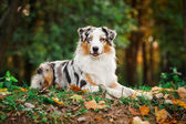 Young merle Australian shepherd portrait in autumn — Stock Photo