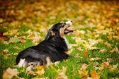 Молодой черный Австралийская овчарка, расслабляясь в осень — Стоковое фото