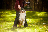 Young merle Australian shepherd performs a trick — Stock Photo