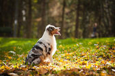 Young merle Australian shepherd look up — Stock Photo