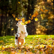 Young Australian shepherd playing with leaves — Stock Photo