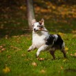 Young merle Australian shepherd running in autumn — Stock Photo #22283487