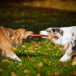 Two dogs playing with a toy together — Stock Photo #22284473