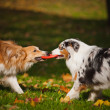 Two dogs playing with a toy together — Stock Photo #22285135