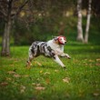 Young merle Australian shepherd playing with toy — Stock Photo