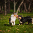 Two Australian Shepherds play together — Stock Photo