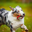 Young merle Australian shepherd playing with toy — Stok fotoğraf