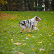 Young merle Australian shepherd running in autumn - Stok fotoğraf