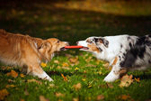Two dogs playing with a toy together — Stock Photo