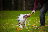 Young merle Australian shepherd playing with man — Stock Photo