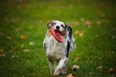 Young merle Australian shepherd playing with toy — Zdjęcie stockowe