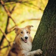 Happy dog border collie at the tree — Stock Photo #22344207