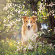 Border collie dog portrait in spring — Stock Photo #22344673