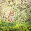 Border collie dog running in spring — Stock Photo