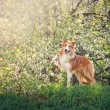 Stock Photo: Border collie dog portrait in spring