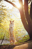 Border collie dog stand up in sunshine — Stock Photo