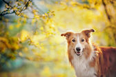 Border collie portrait on sunshine background — Stock Photo
