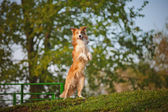 Border collie stand up on the spring background — Stock Photo